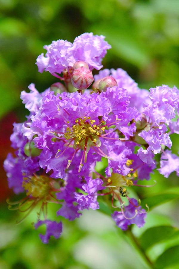 紫薇 - 照片1
