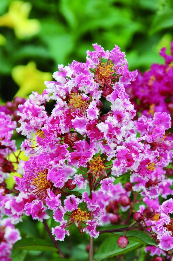 紫薇 - 照片4