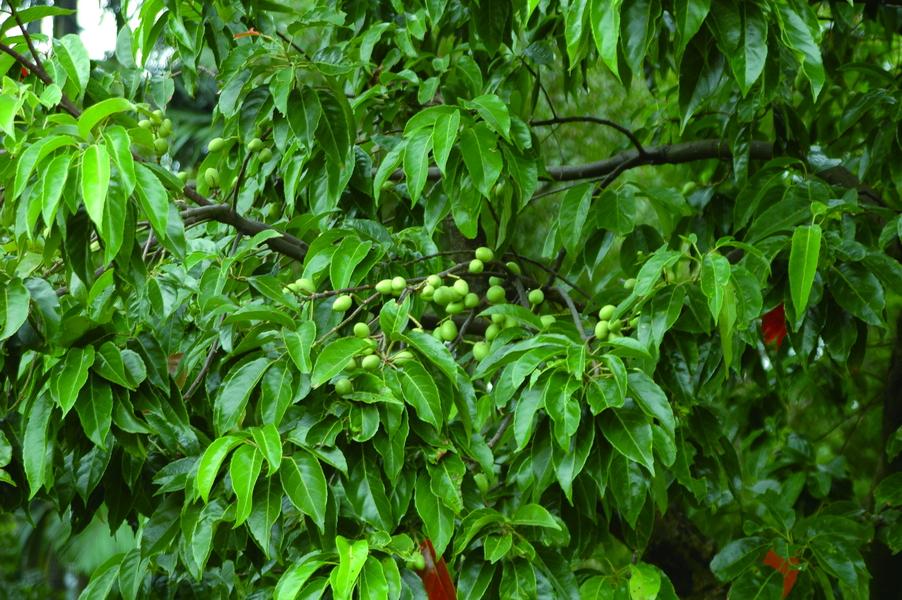 錫蘭橄欖 - 照片2