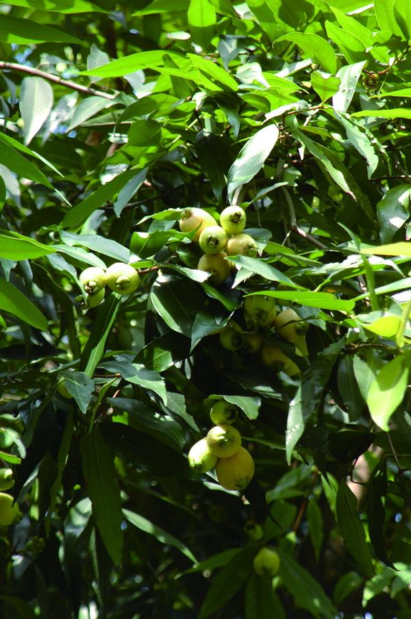 蒲桃 - 照片3