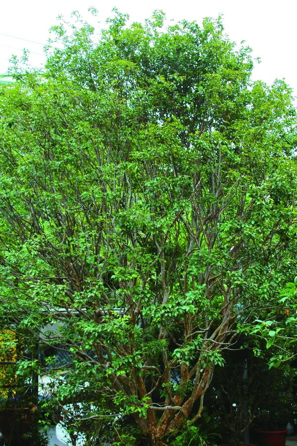樹葡萄 - 照片2