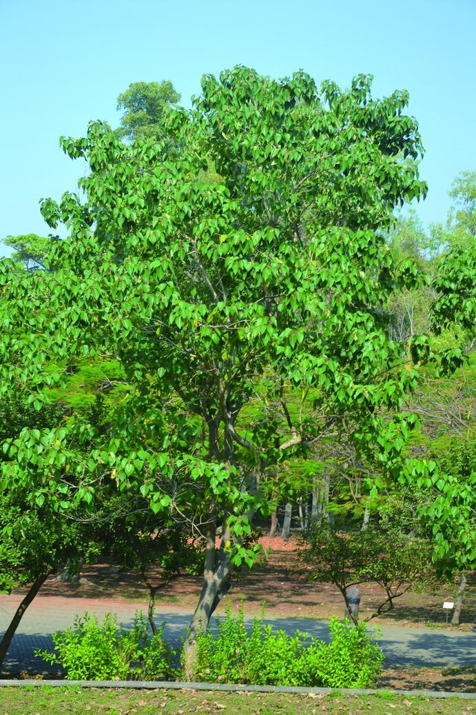 楓葉翅子木 - 照片2
