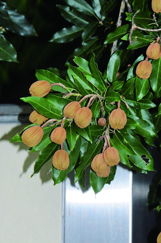 台灣梭羅樹 - 照片2