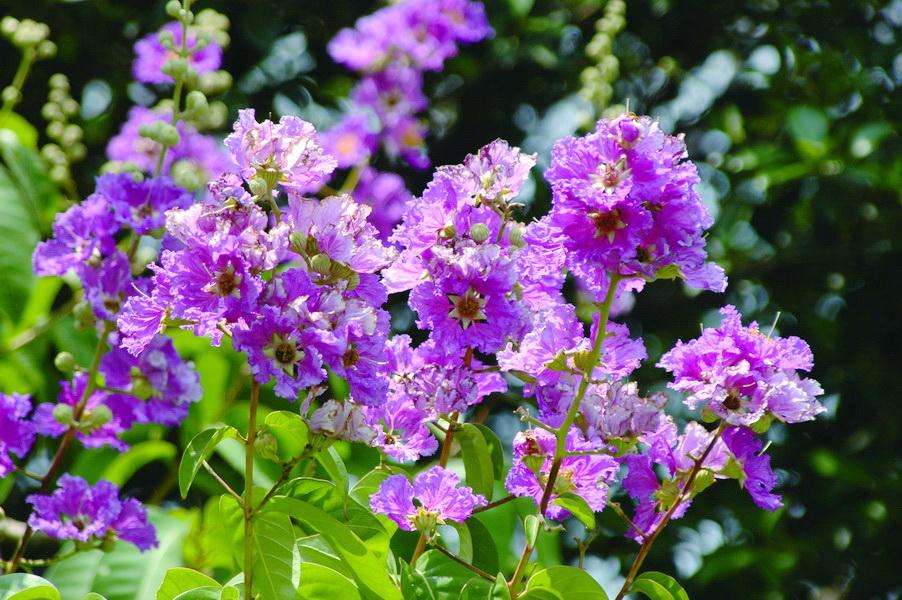 大花紫薇 - 照片1