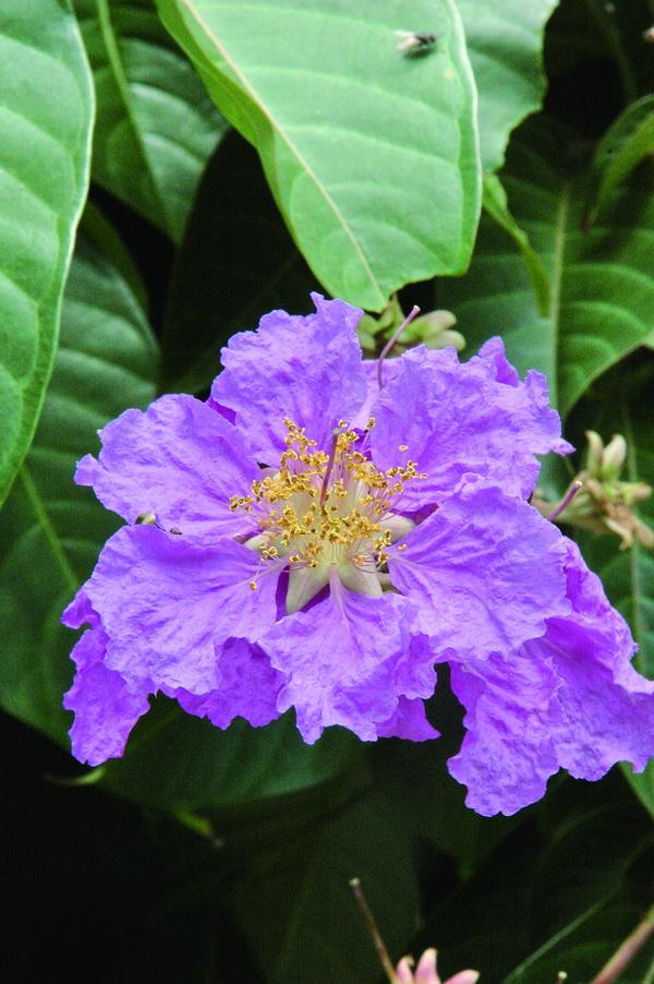 大花紫薇 - 照片2
