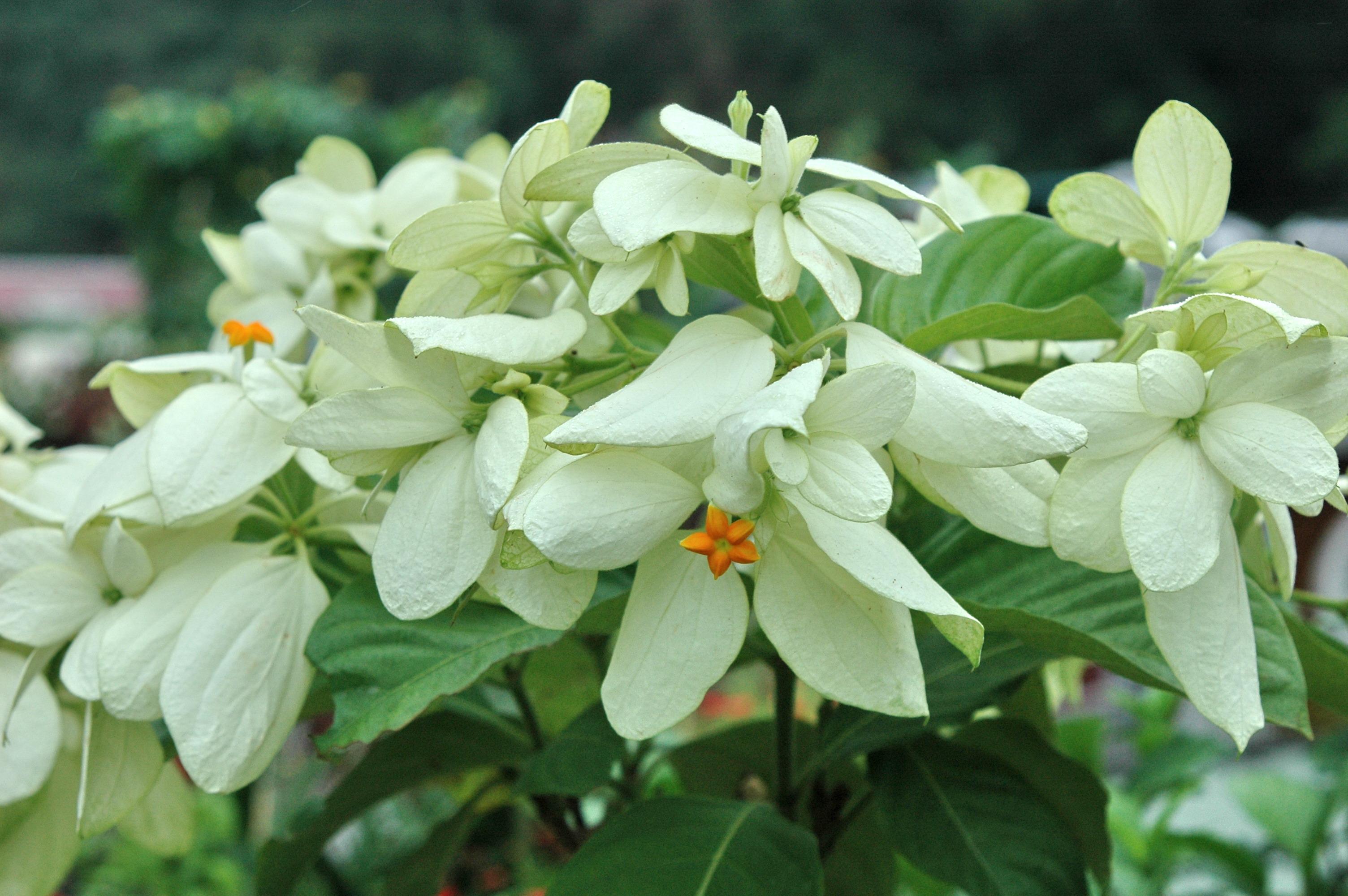 菲律賓玉葉金花