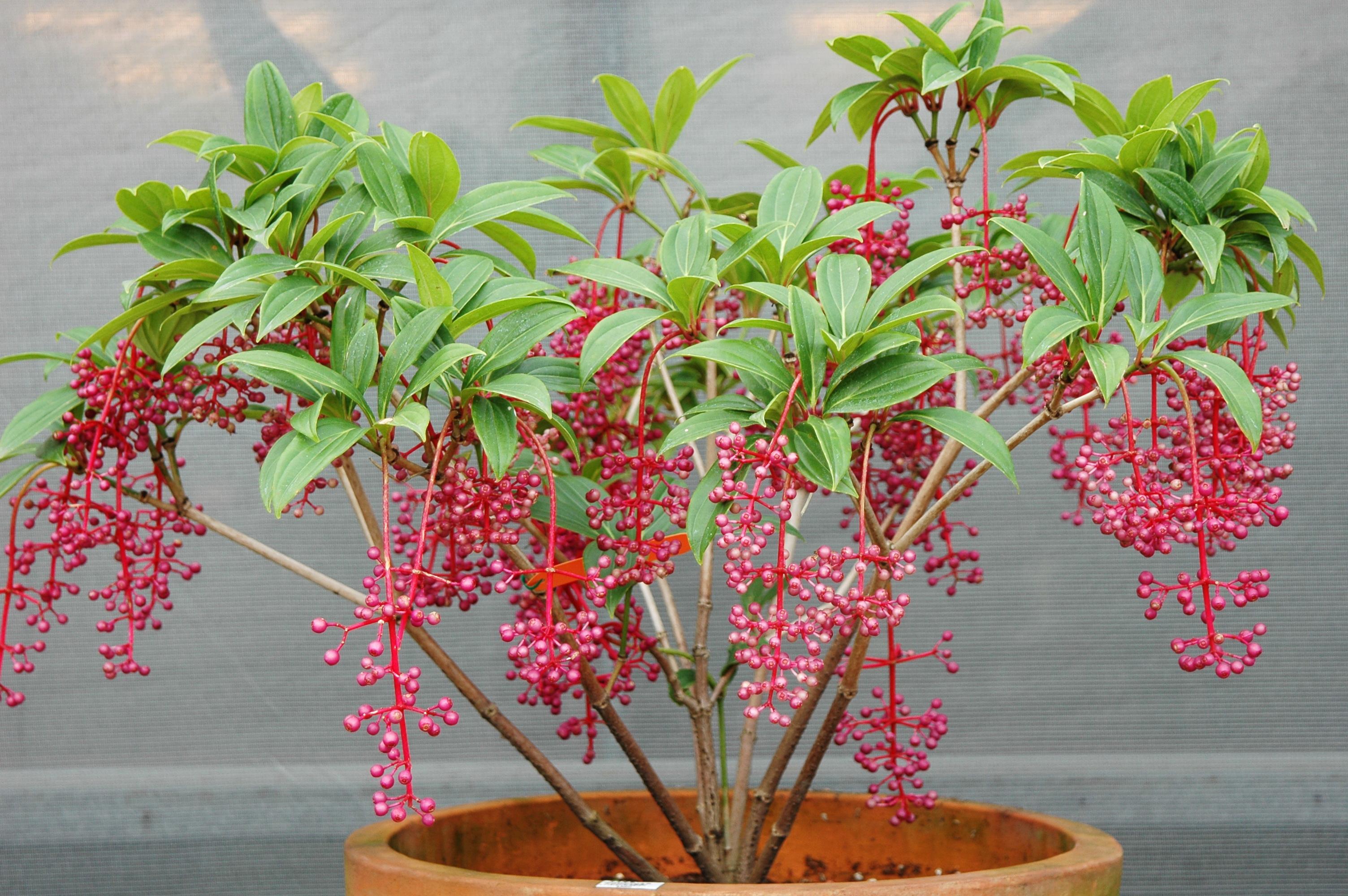 台灣野牡丹藤