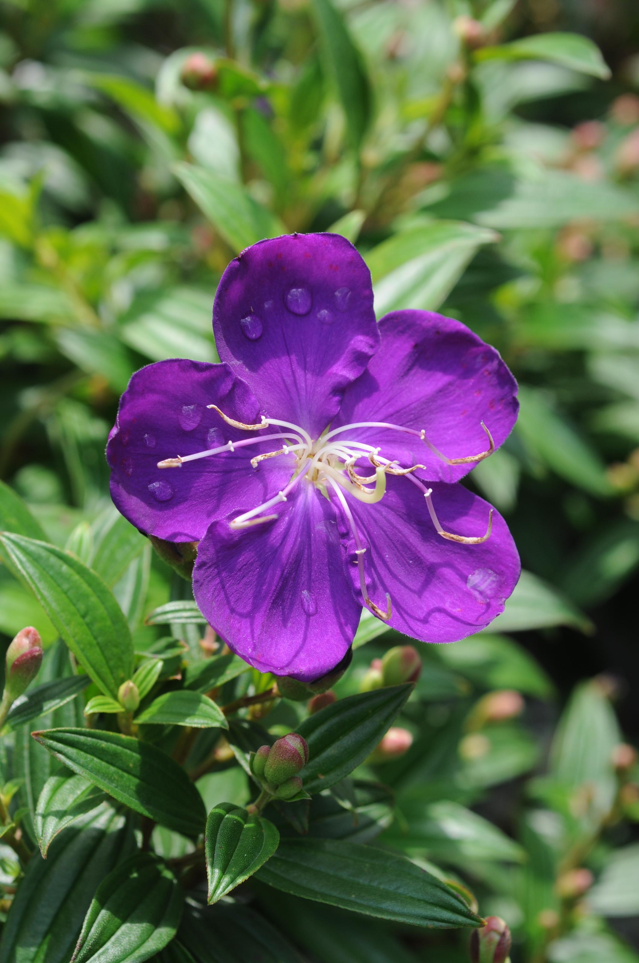 豔紫野牡丹