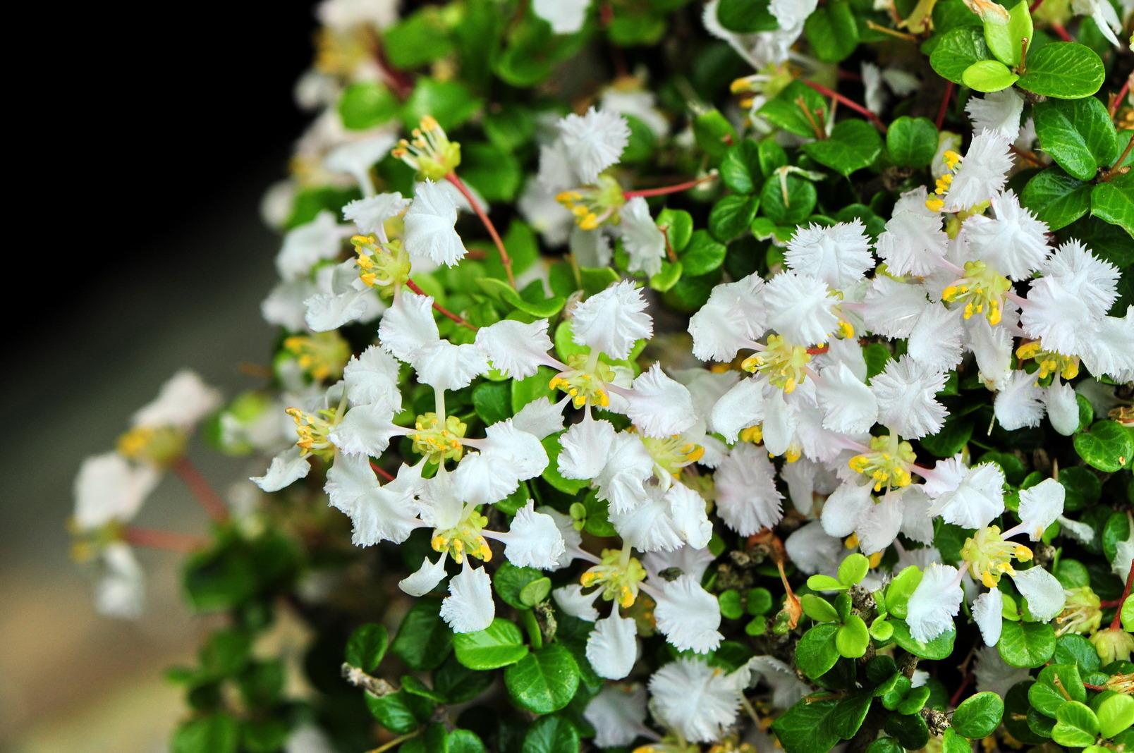 刺葉西印度櫻桃