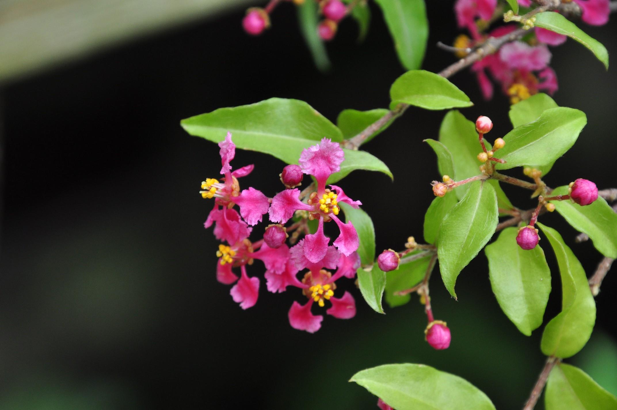 小葉西印度櫻桃