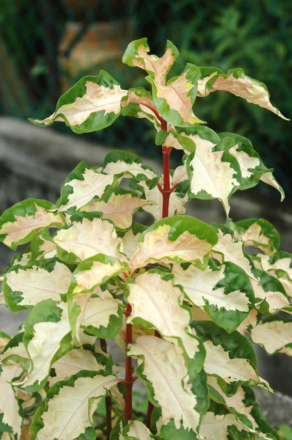 彩葉木 - 照片4