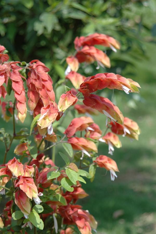 紅蝦花 - 照片3