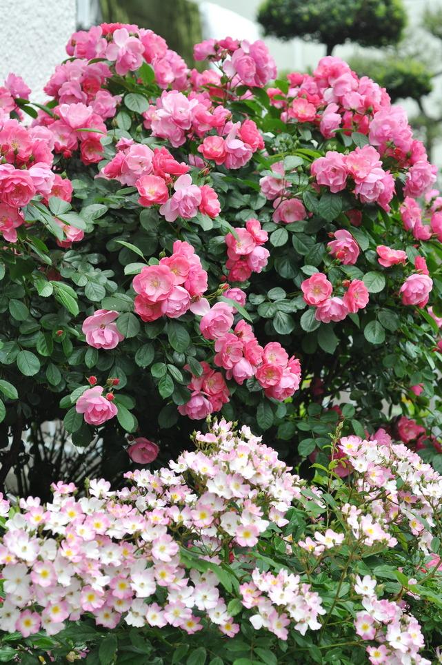 玫瑰 - 照片1