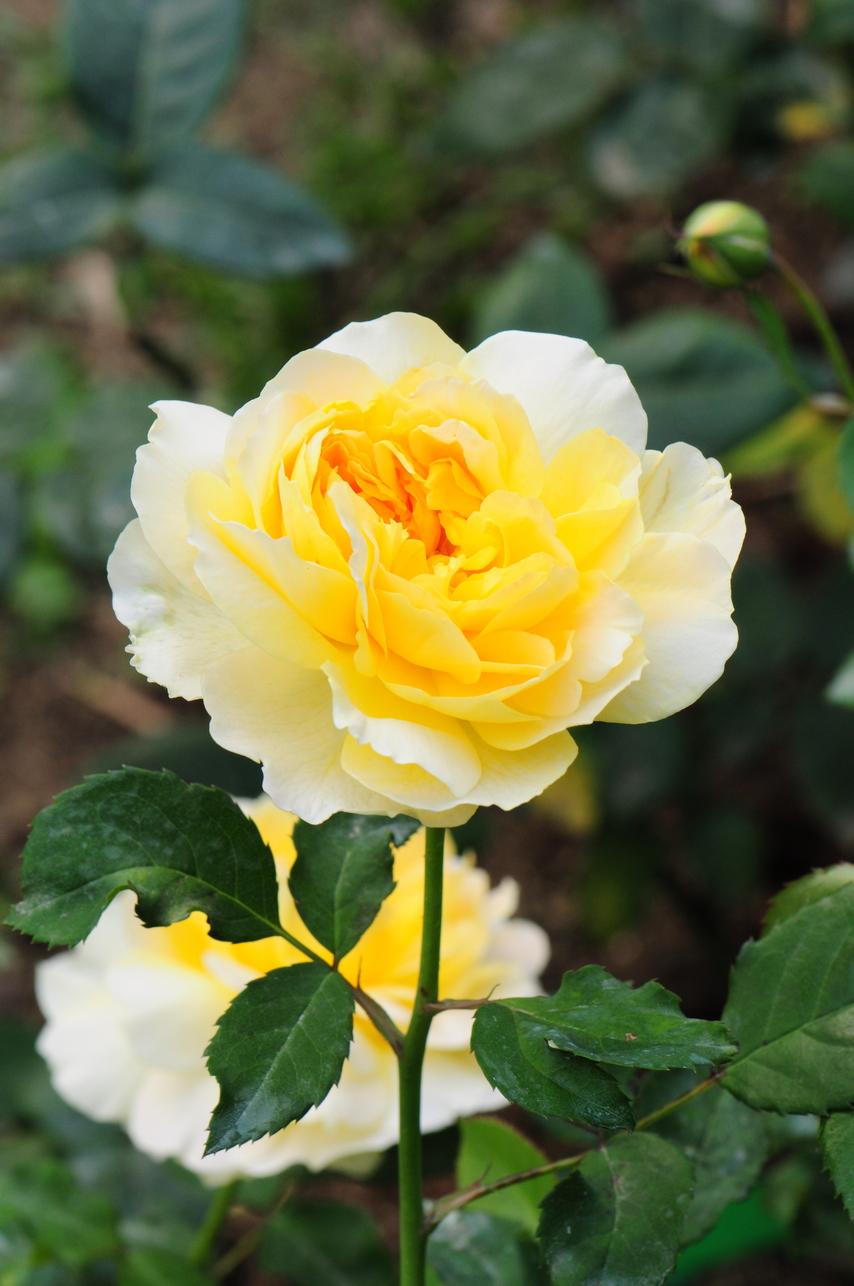 玫瑰 - 照片2