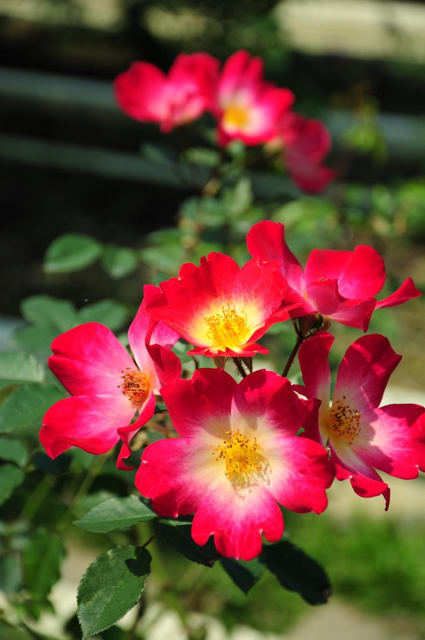 玫瑰 - 照片3