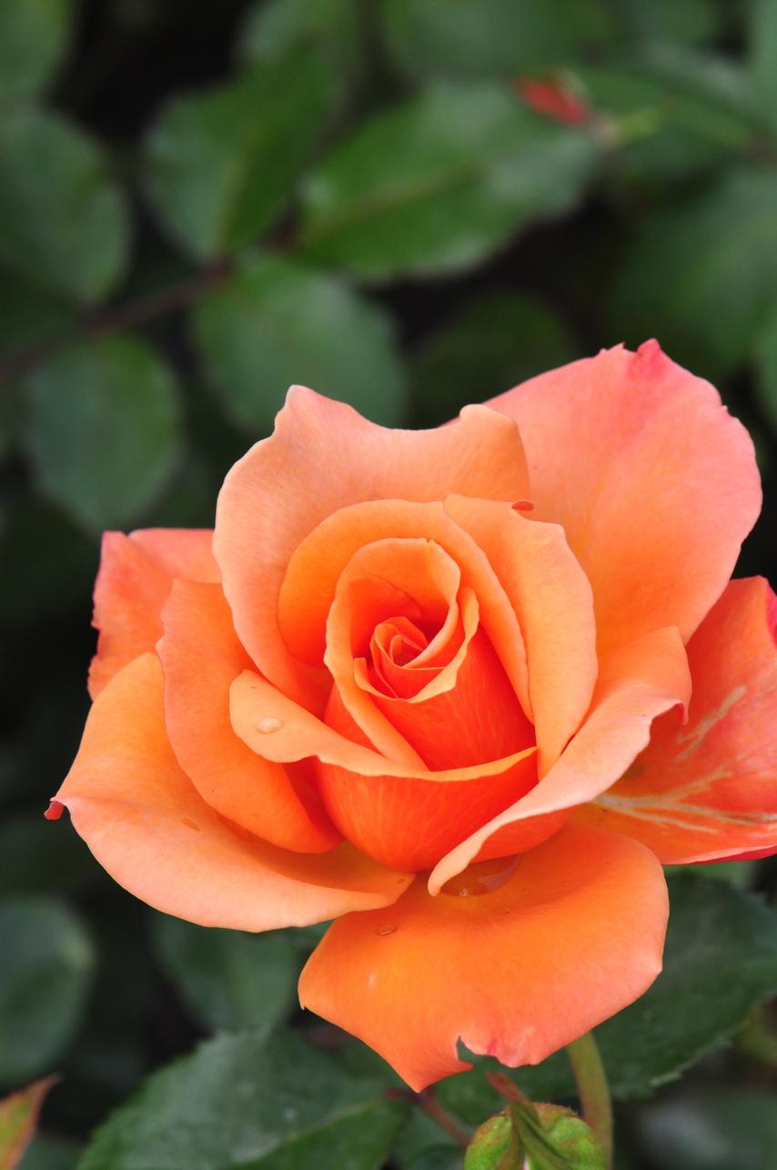 玫瑰 - 照片5