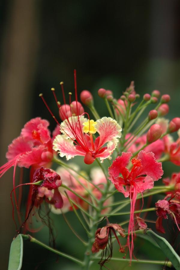 紅蝴蝶 - 照片4