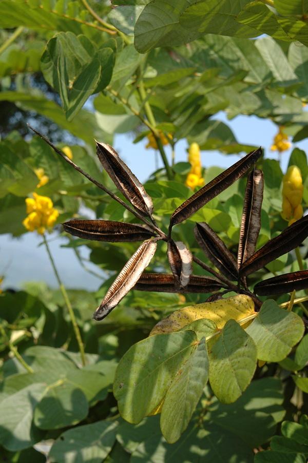 翅果鐵刀木 - 照片4