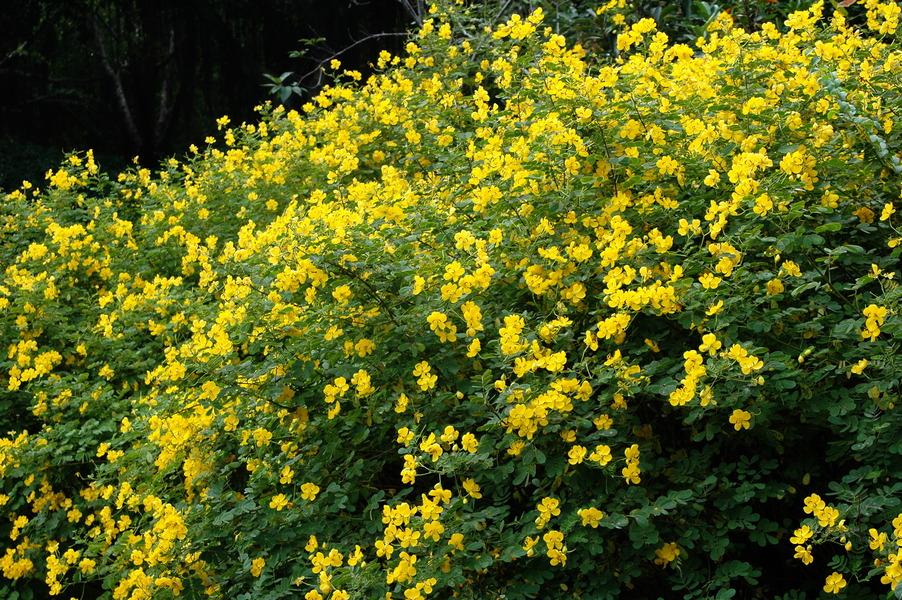 金邊黃槐 - 照片2