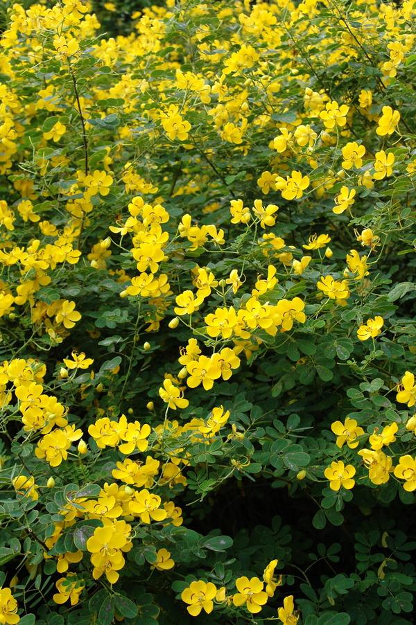 金邊黃槐 - 照片3