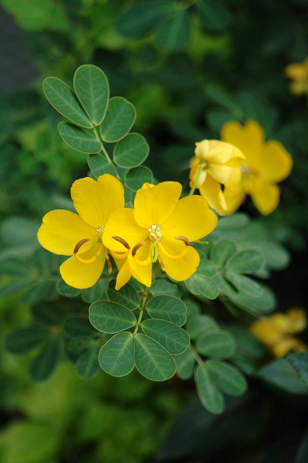 金邊黃槐 - 照片4