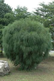千頭木麻黃 - 照片1