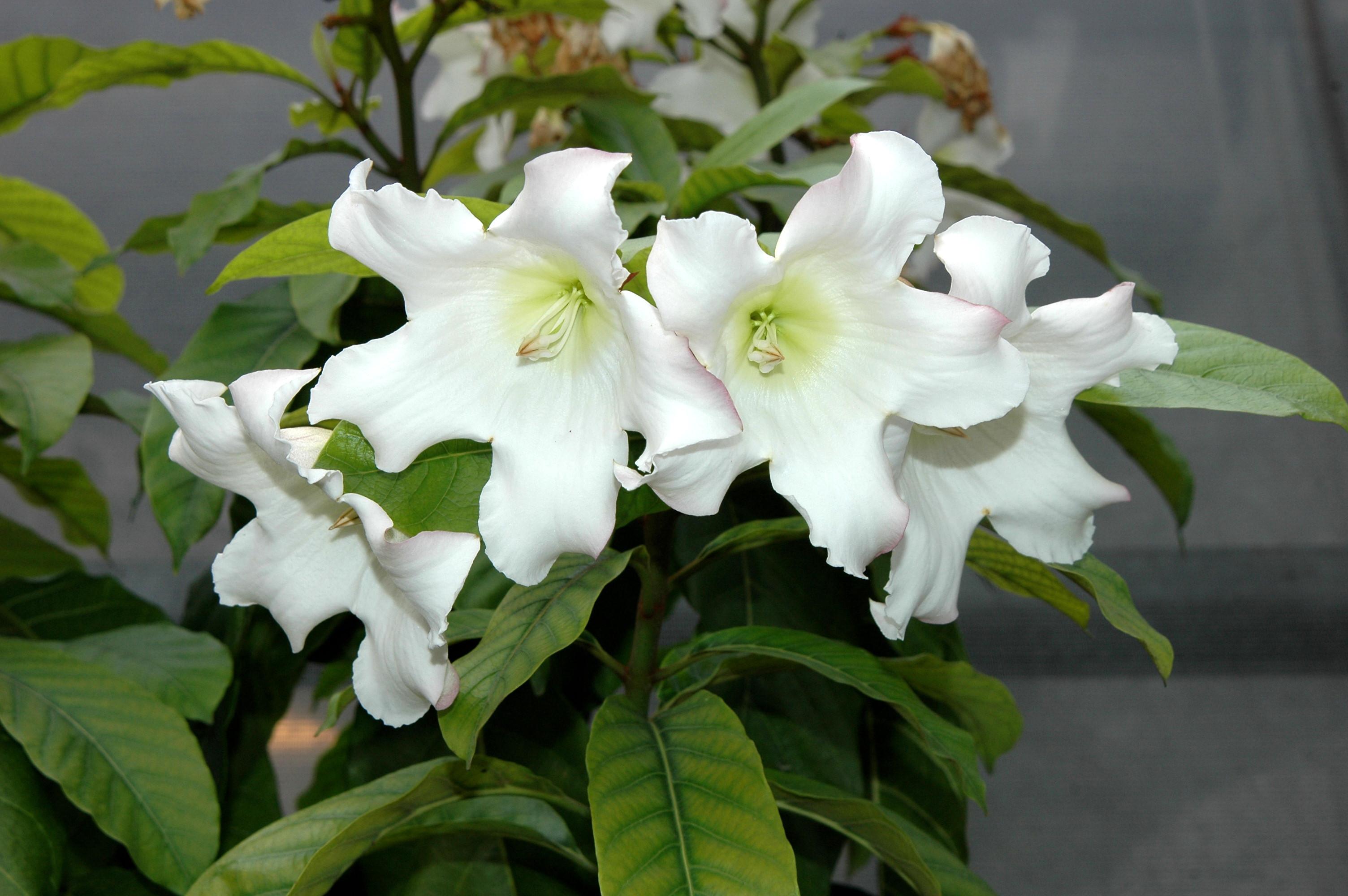 清明花 - 照片2