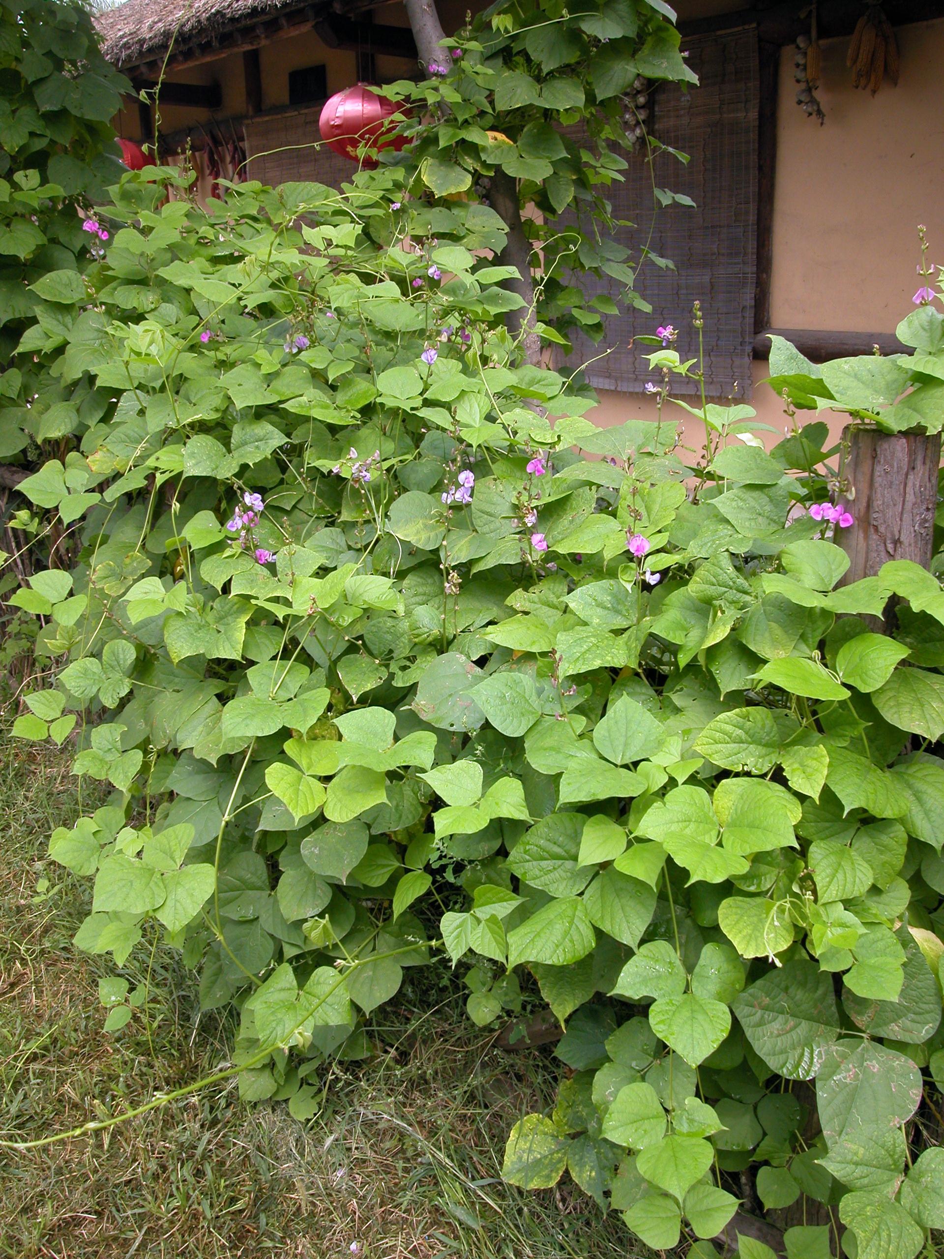 鵲豆 - 照片3