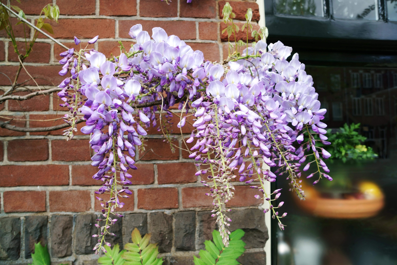 紫藤 - 照片2