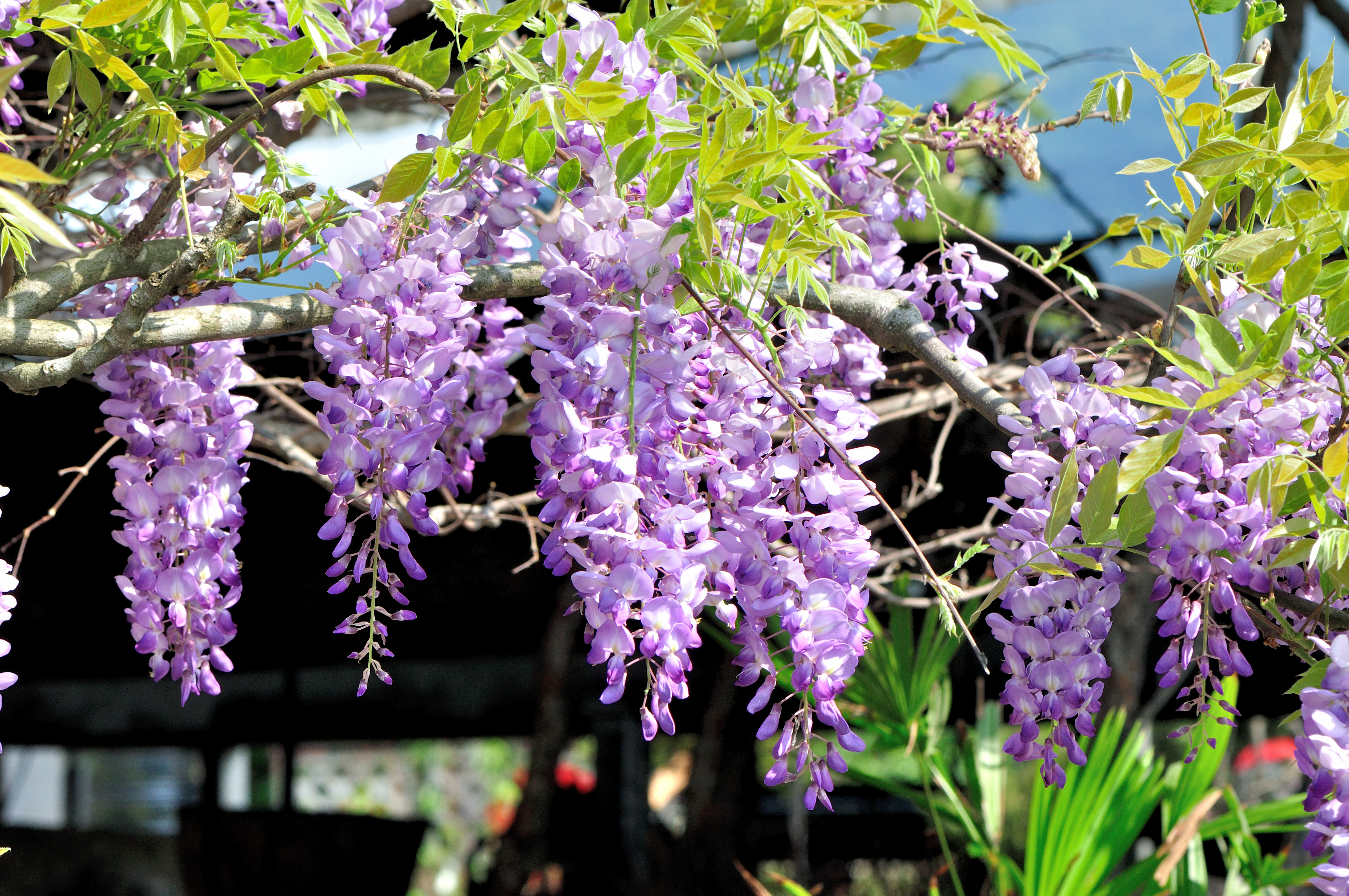紫藤 - 照片3
