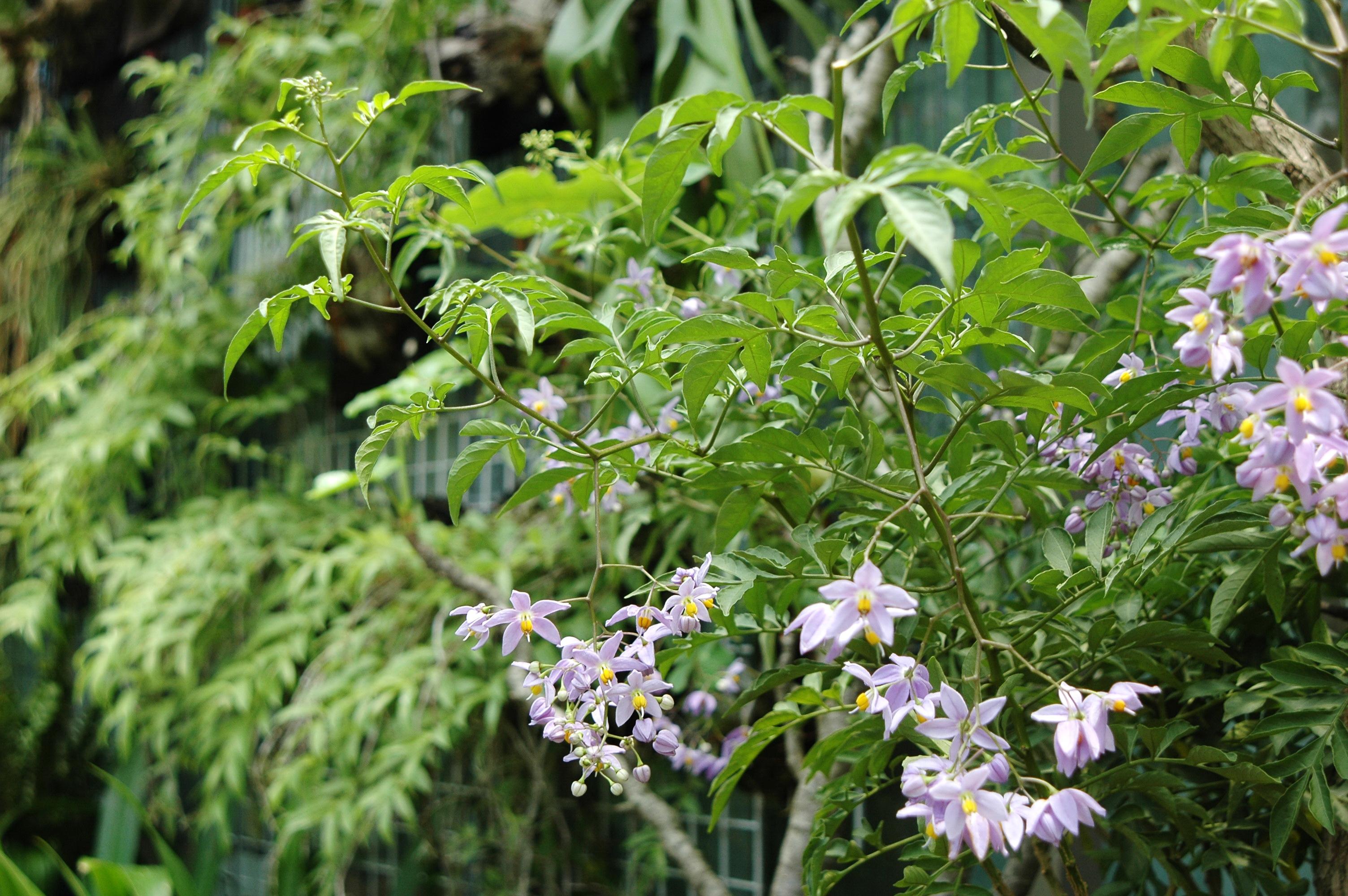 素馨葉白英