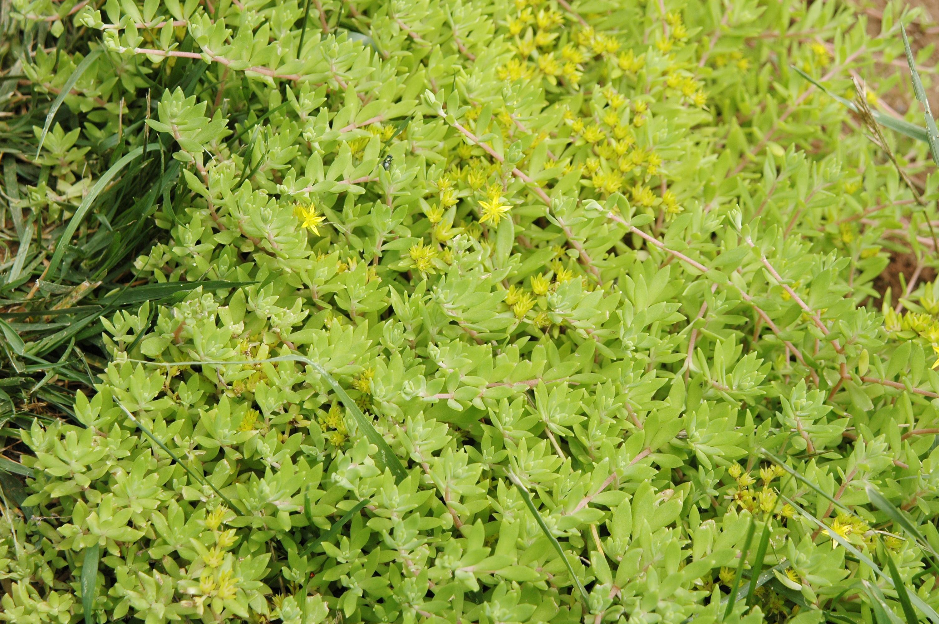 垂盆草 - 照片5