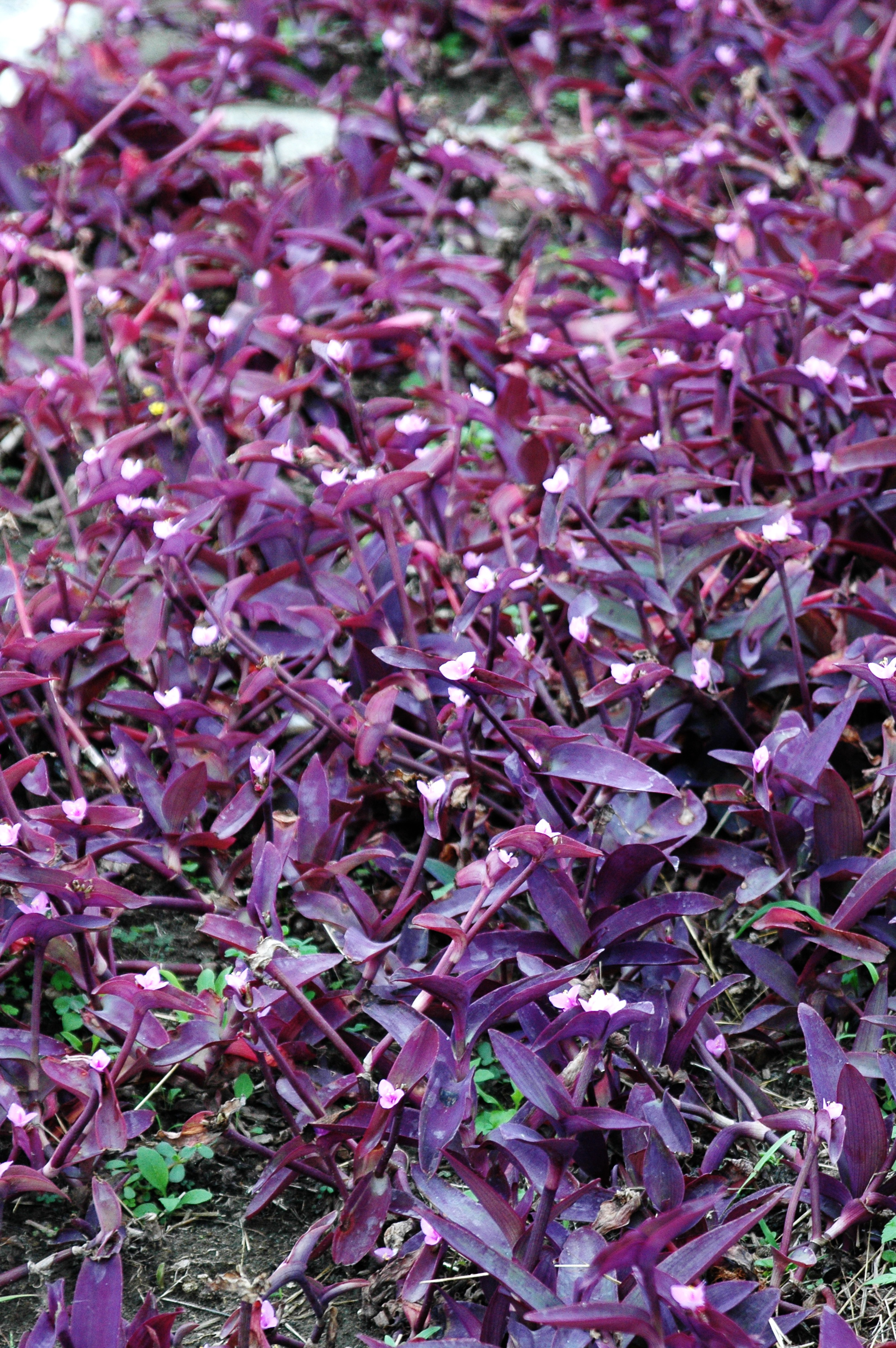 紫錦草 - 照片1