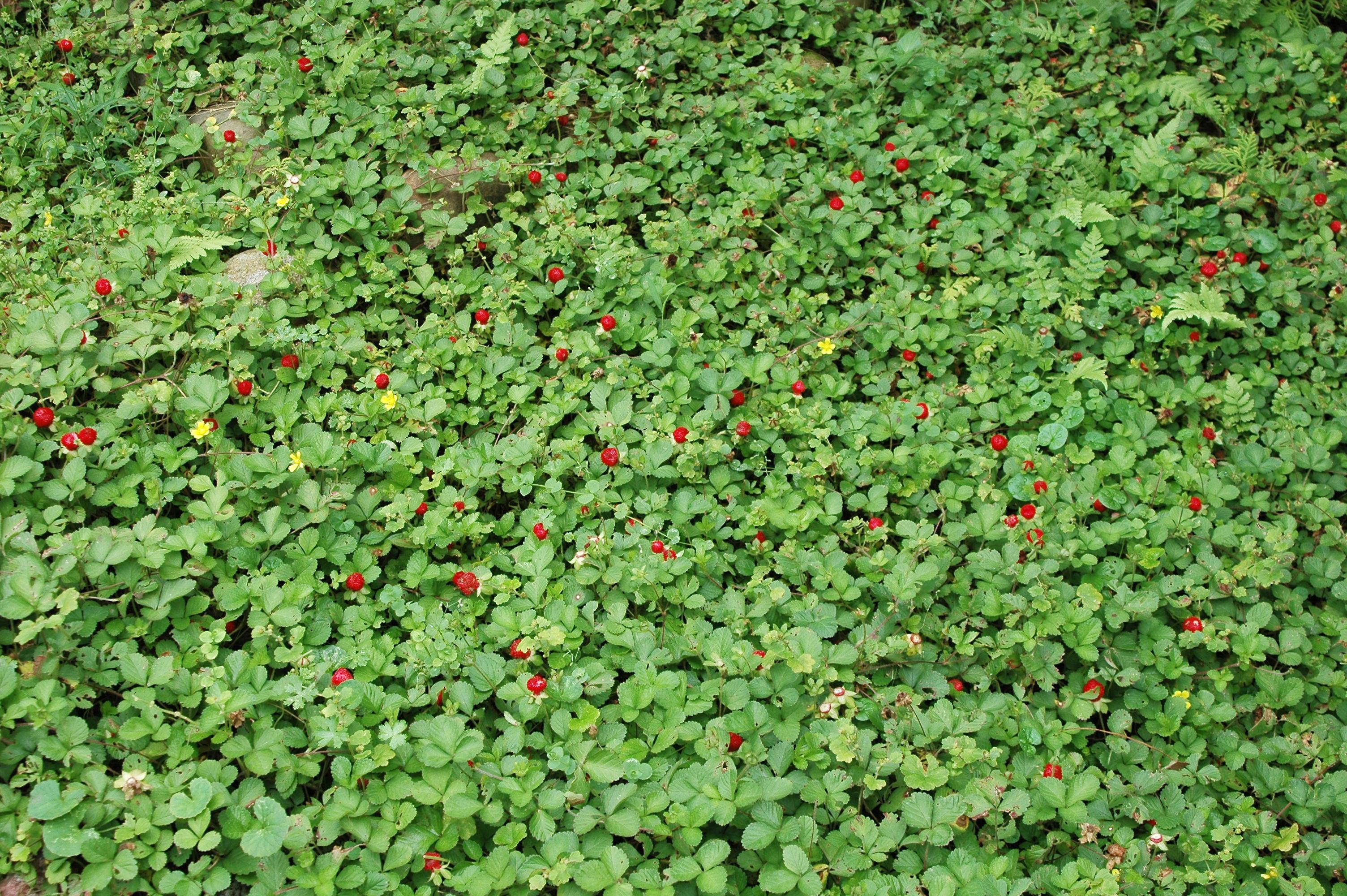 蛇莓 - 照片1