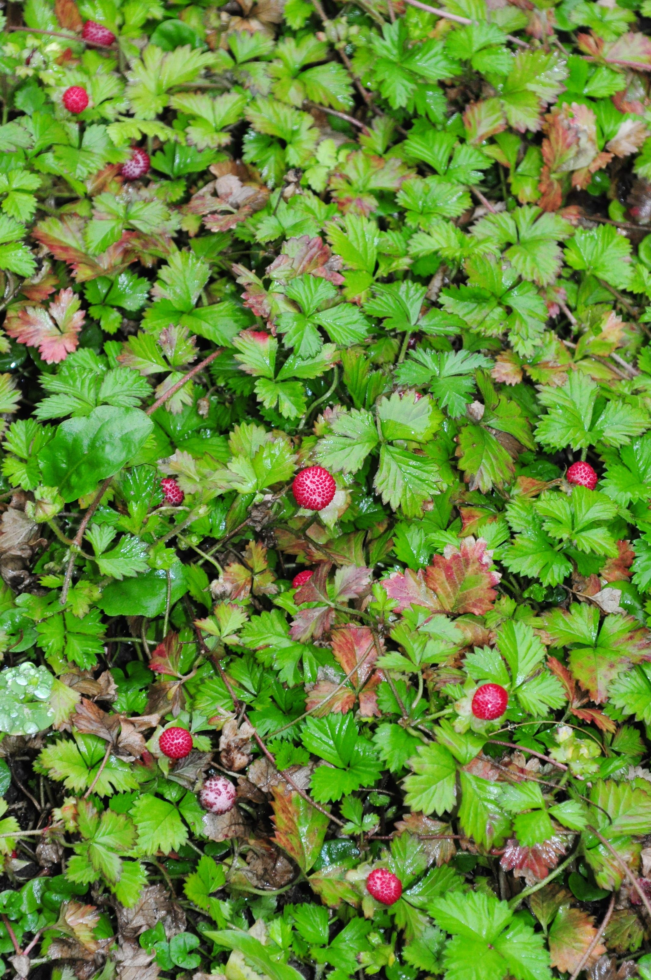 蛇莓 - 照片2