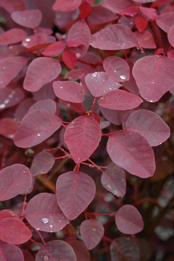 紫錦木 - 照片2