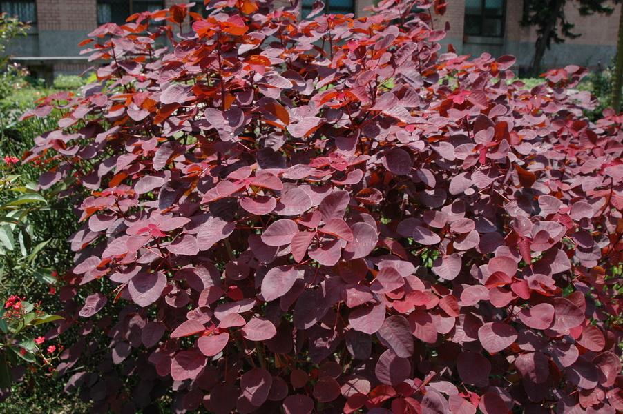 紫錦木 - 照片3