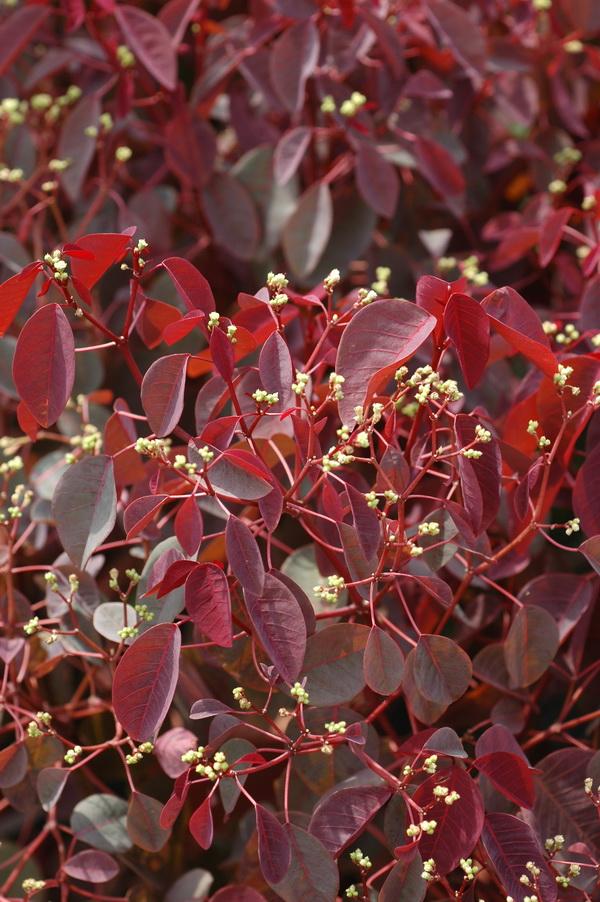 紫錦木 - 照片4