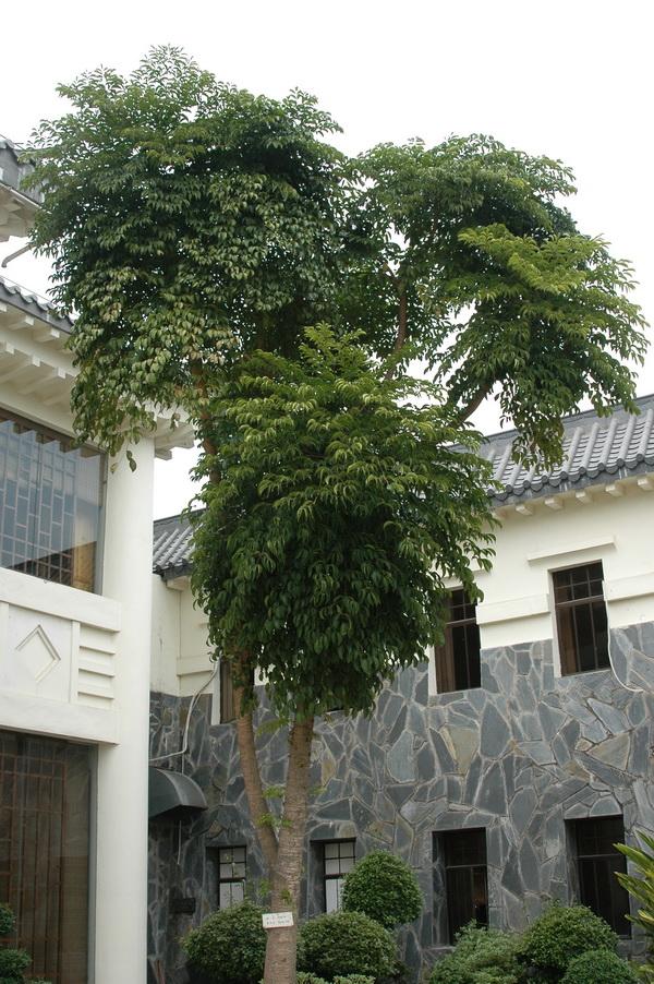 幌傘楓 - 照片1