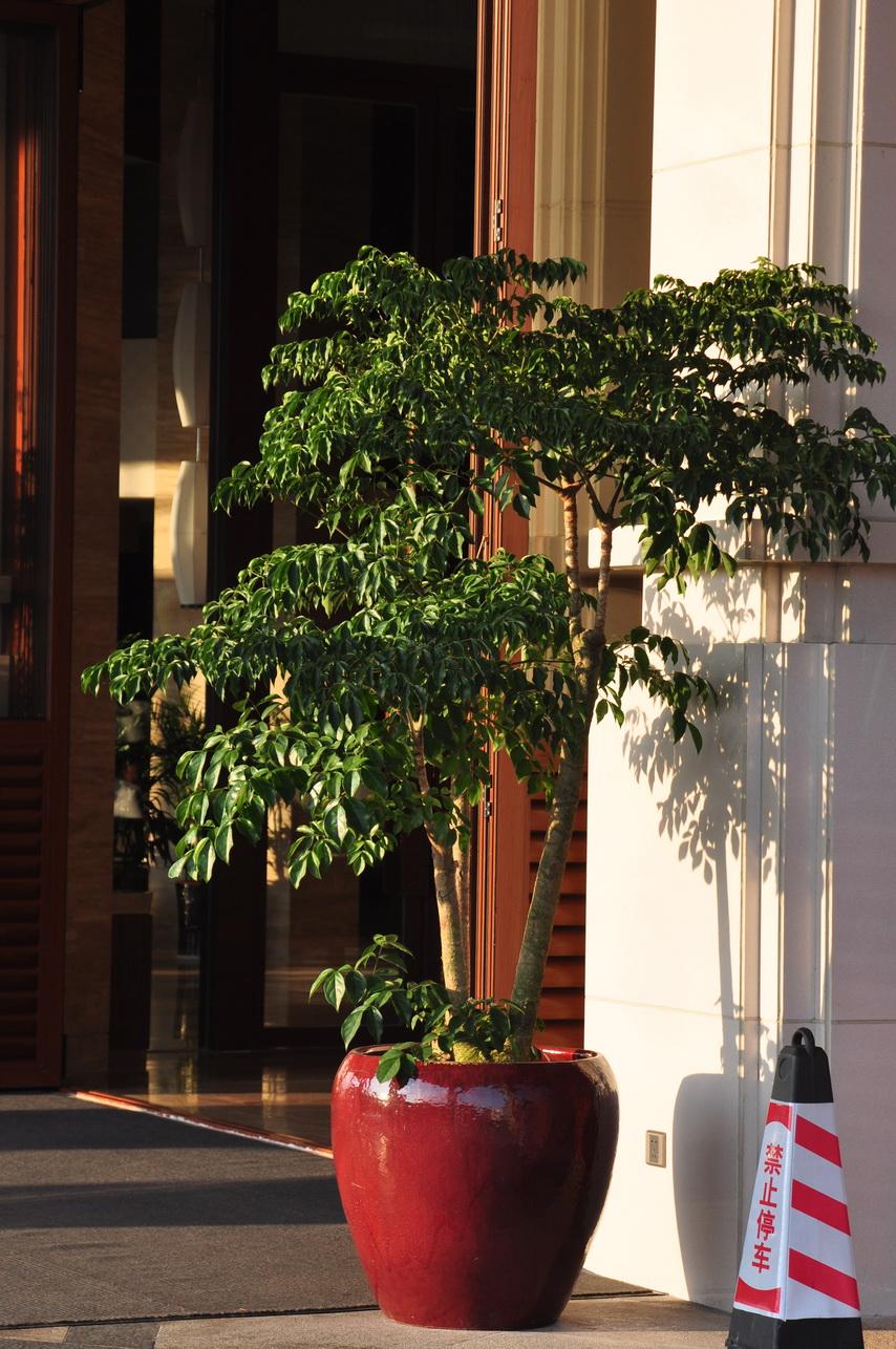 幌傘楓 - 照片5