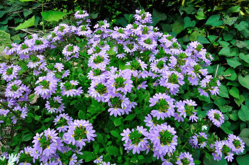 紫扇花 - 照片2