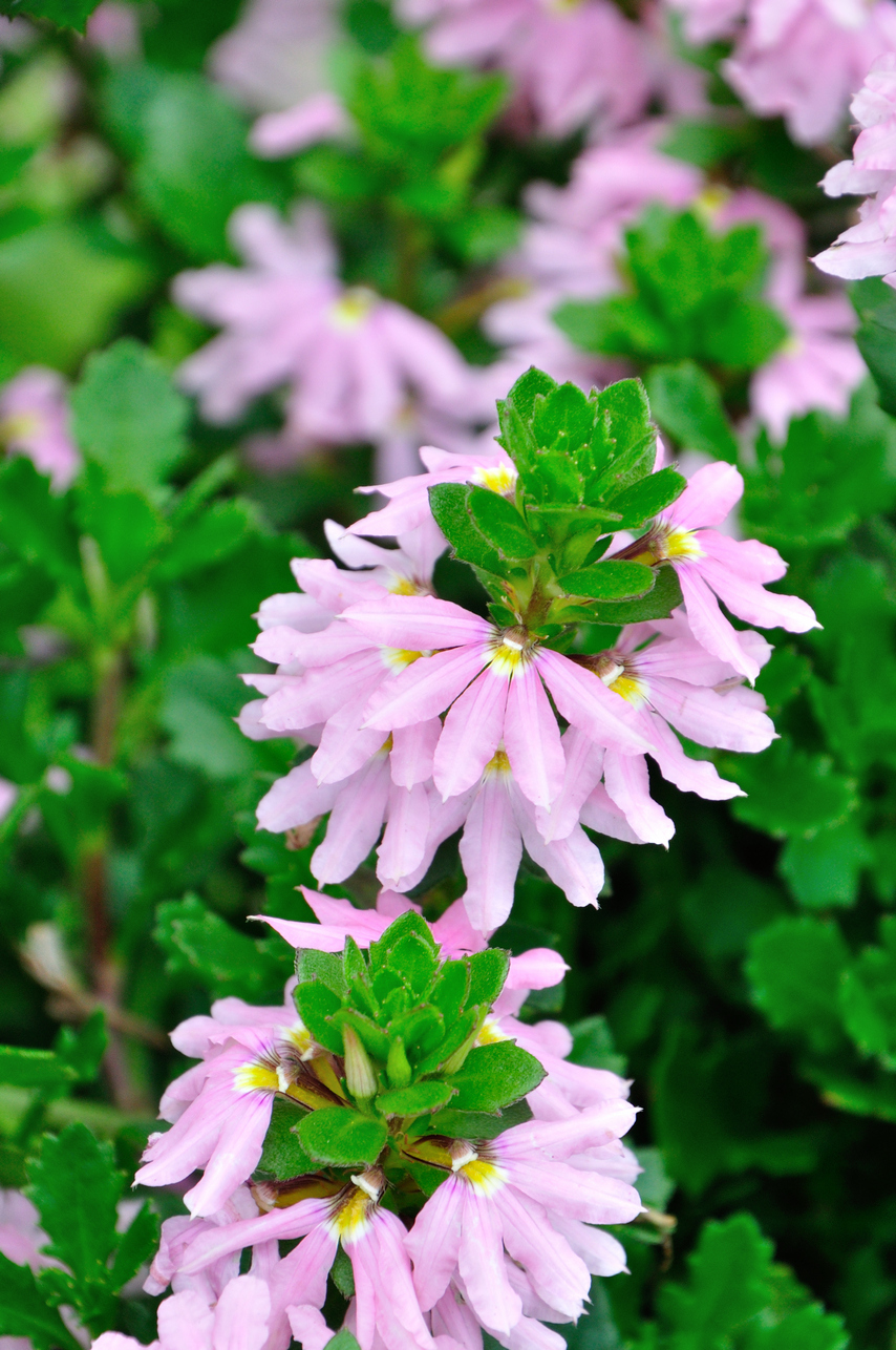紫扇花 - 照片3