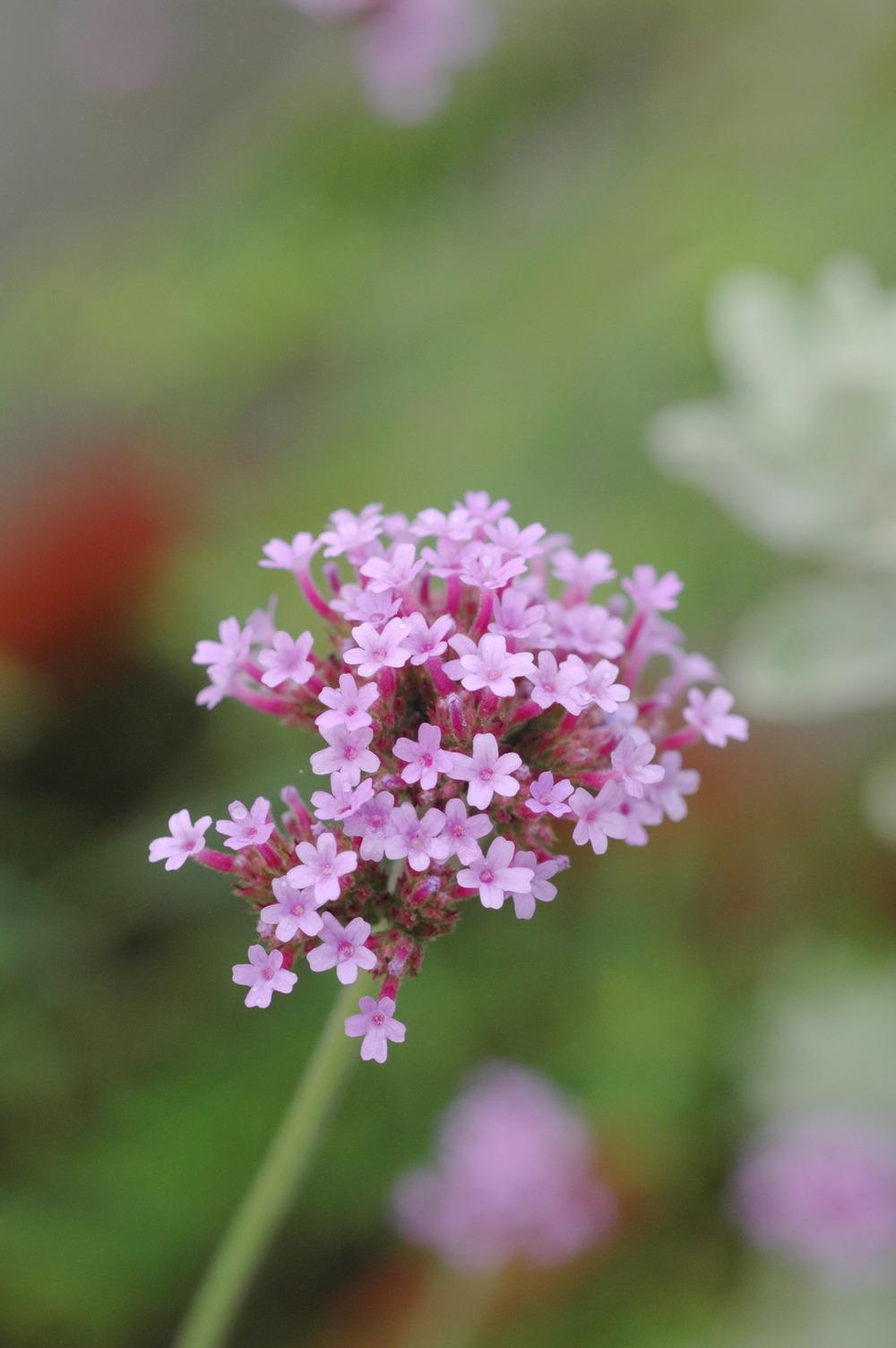 柳葉馬鞭草 - 照片1