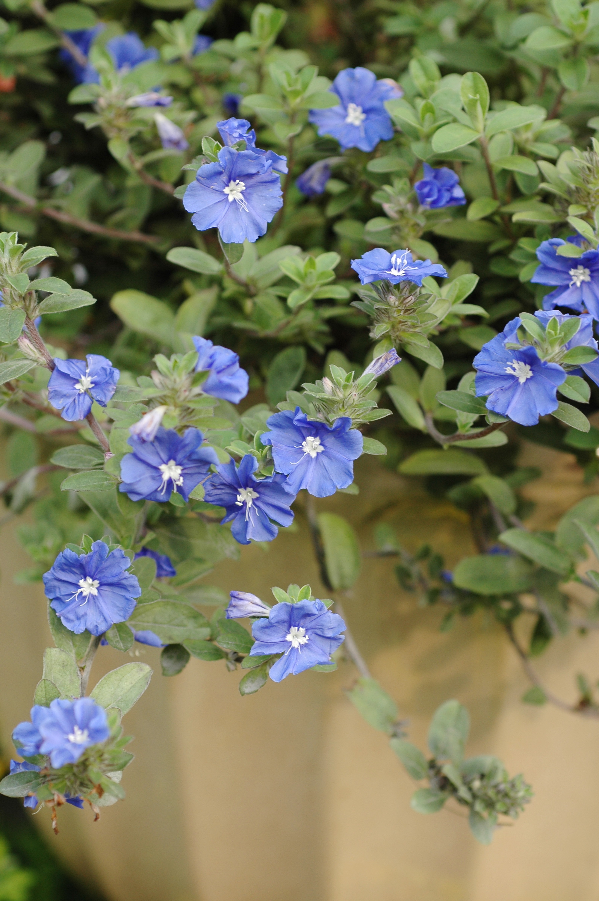 藍星花 - 照片1