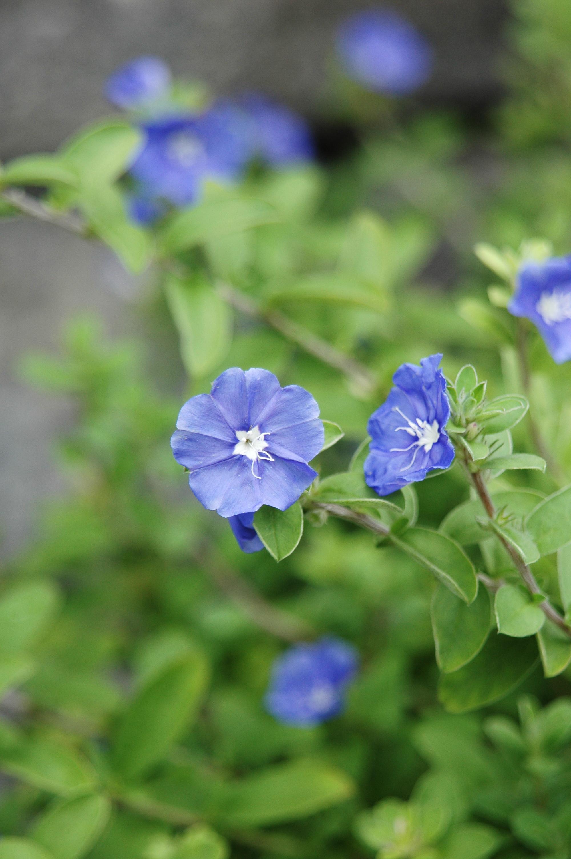 藍星花 - 照片2