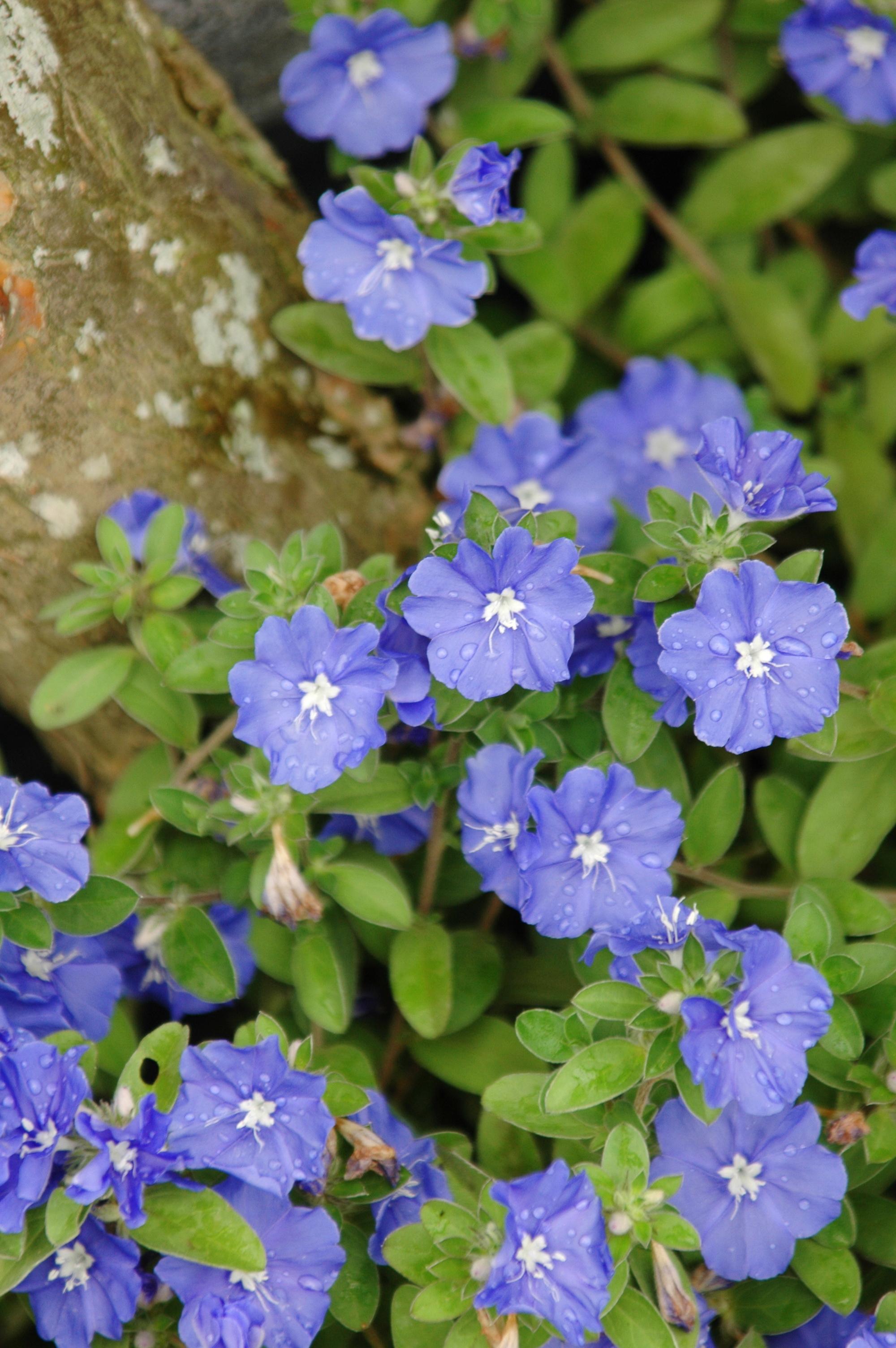 藍星花 - 照片3