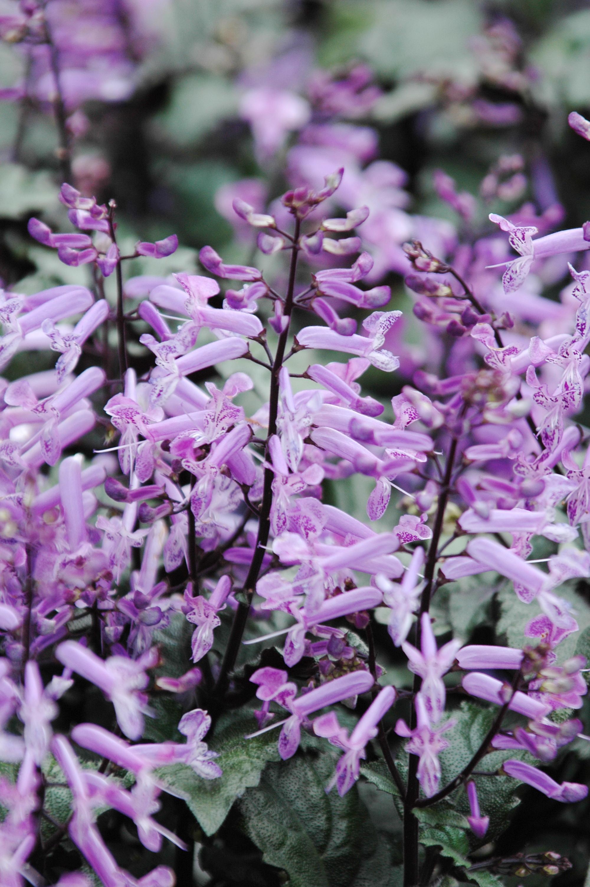 夢幻紫 - 照片1