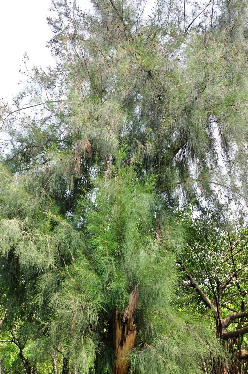 木賊葉木麻黃 - 照片1