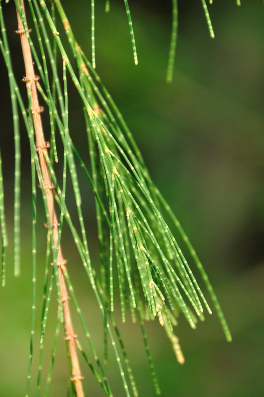 木賊葉木麻黃 - 照片3