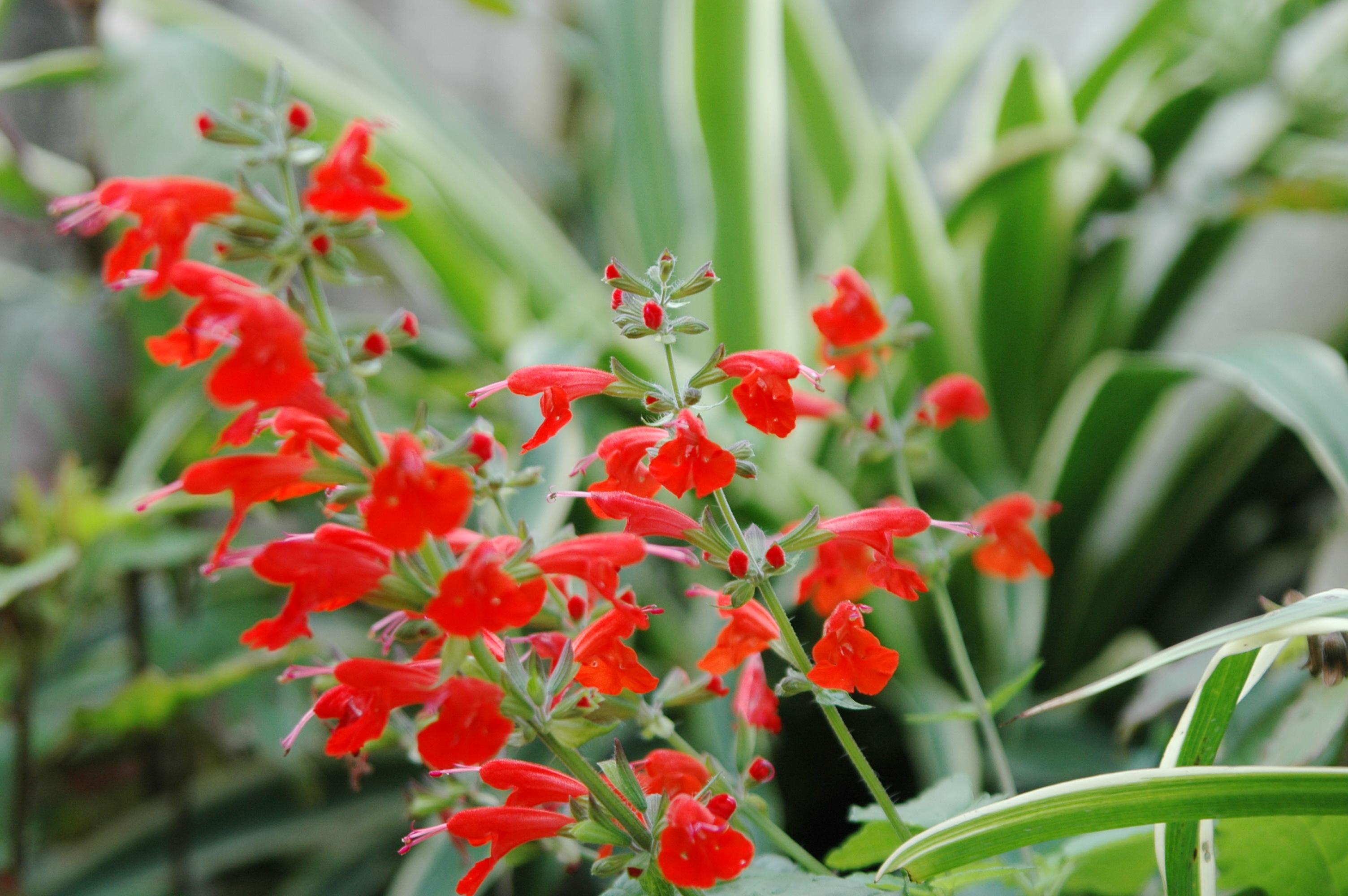 紅花鼠尾草
